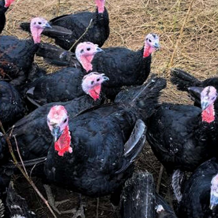 Sussex Free Range Turkeys October 2019